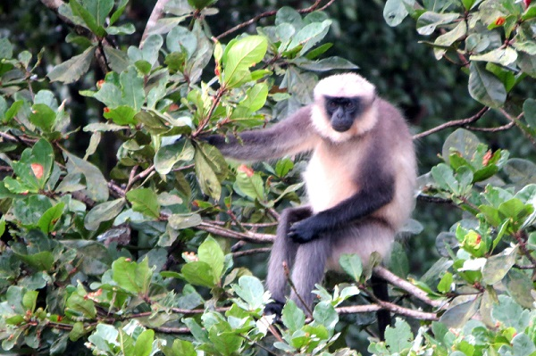 The grey langur, Presbytis entellus, is hypothesised to play a key role as hosts in KFD transmission - photo by S Burthe