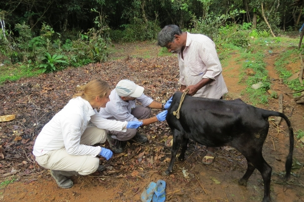 Fieldwork pilot - researchers inspecting a cow for feeding ticks